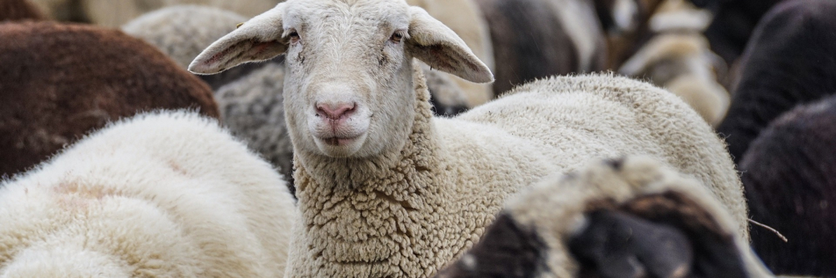 sheep-4810513_1920_PIXABAYFREE
