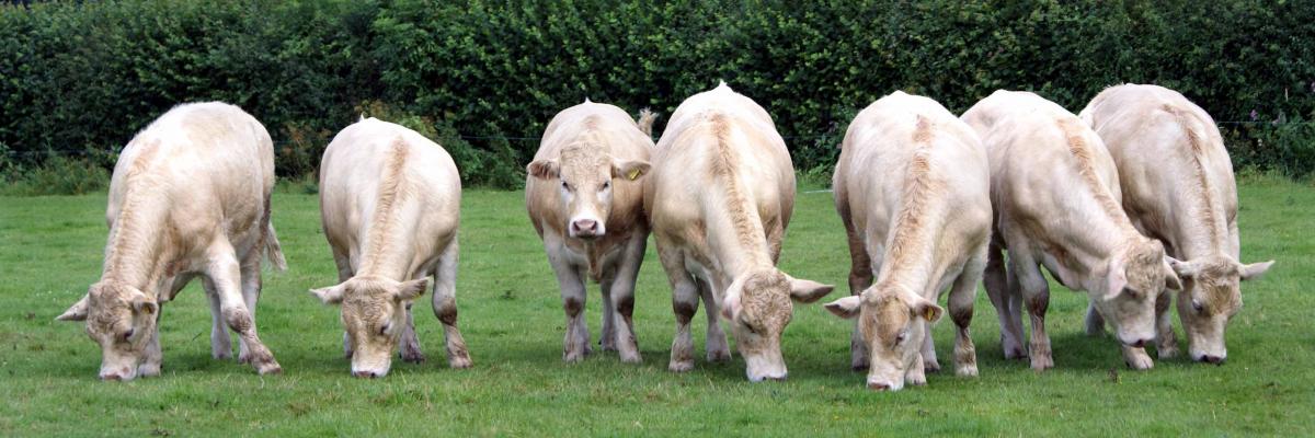 calves-1722856_PIXABAY FREE
