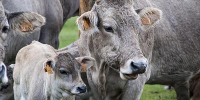 cow-5177251_1920